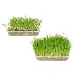 Herba -  kattgräs
